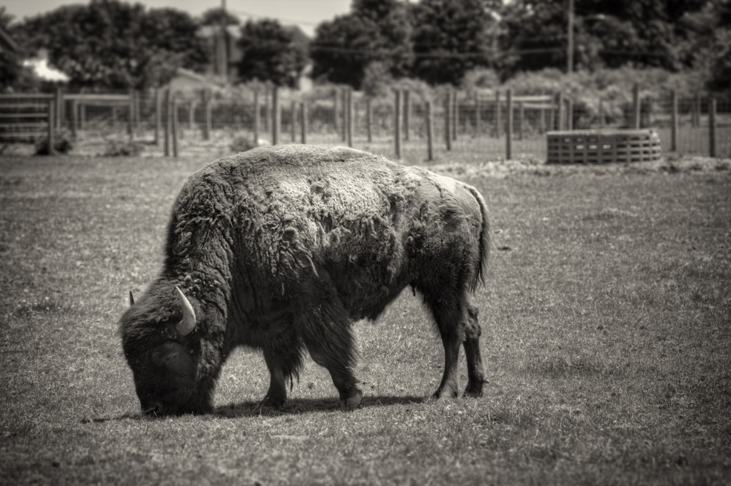buffalo farm 022_tonemapped sepia
