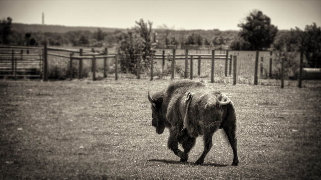 buffalo farm 029_tonemapped sepia