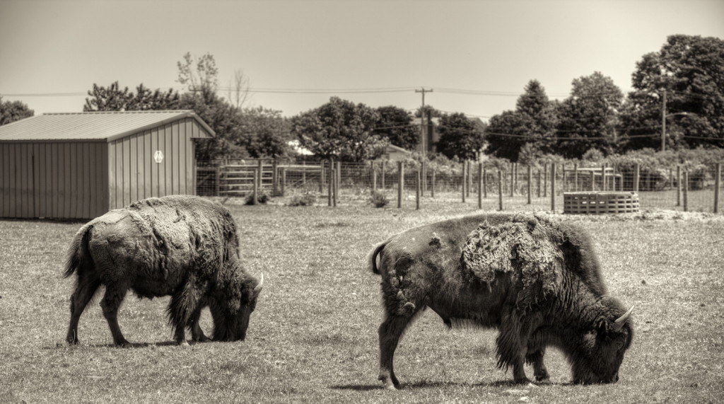 buffalo farm 043_tonemapped sepia